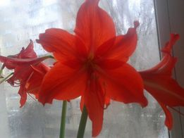 цветы (луковицы) гиппеаструма продам