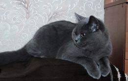 Предлагаю для вязки молодого кота СКОТТИШ СТРАЙТ