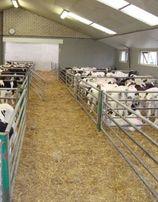 POLSKIE Byczki HF 50-65 KG 550-700 zł brutto cielaki cielęta