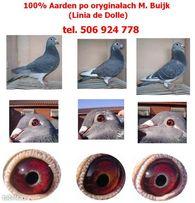 Gołębie pocztowe 100% Aarden po oryginałach M. Buijk , M. van Geel