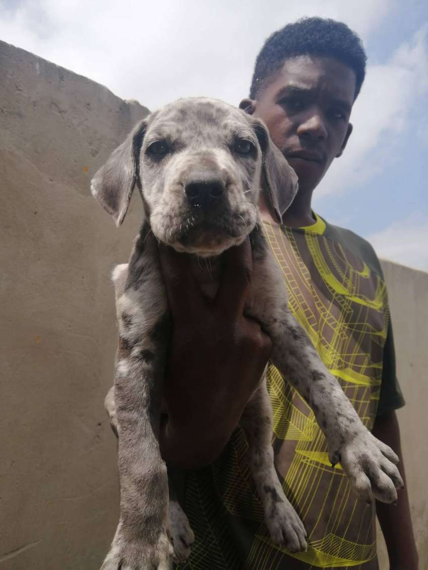 Blue Great dane puppies available 0