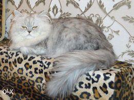 Вязка котик ПЕРС классик серебристая Шиншилла приглашает кошечек