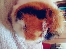 2 sibling sister guinea pigs looking for loving home