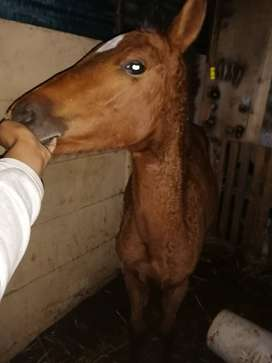 Saddle horse foal