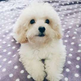 Maltese or Poodle puppy wanted