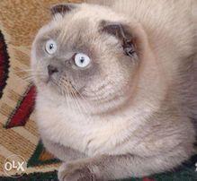 Вислоухий кот. Для вязки британских кошечек.