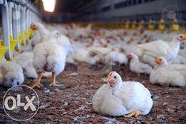 Цыплята бройлер, куры бройлер, подросток в наличии до 1.4 кг.