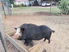 Two pigs for sale