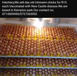 Day old lohmann layer chicks R15 each