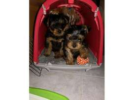 These adorable 9 week old teacup Yorkies are looking for a loving and