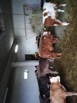 Byczki odchowane, zarloki miesne