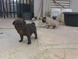 Pug puppies ... 9 weeks old born 14 desember