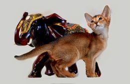Абиссинские котята – кошки вашей мечты.