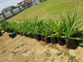 Yucca Aloifolia plants for sale only 20 left