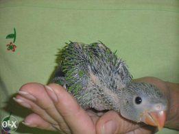 Ожереловые попугаи, ручные малыши - выкормыши