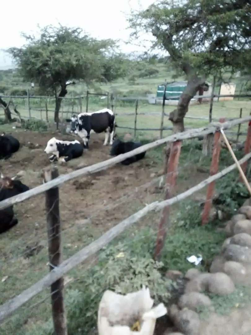 Cow forsale