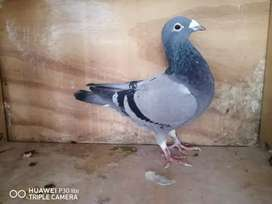 Stock pigeons for sale