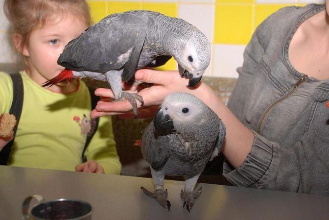 птица говорун -Жакун, Жако алохвостый африканец Киев - изображение 5