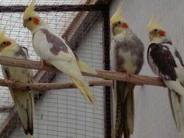 Птенчики корелл