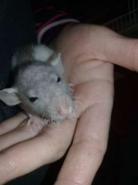Baby hairless rats for sale