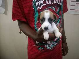 TAN AND WHITE JACK RUSSEL PUPS AVAILABLE, MALES AVAILABLE.