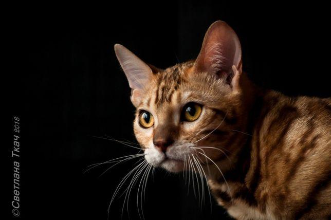 настоящий король, бенгальский кот Киев - изображение 5