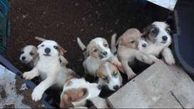 Wired-hair Jack Russell Puppies