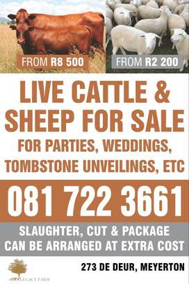 Cattle and sheep for sale