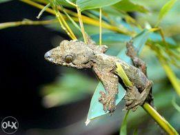 Летающий геккон