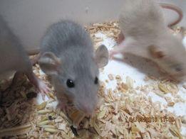декоративные крысы дамбо разных окрасов