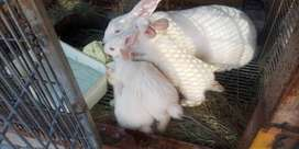 RABBITS (NEWZEALAND WHITE) FOR SALE