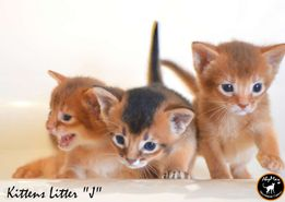 Абиссинские котята - оберег вашего дома.