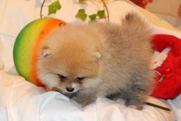 Шпиц померанский щенки на Опт