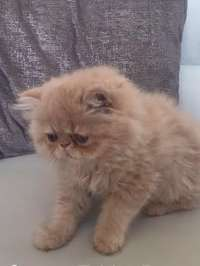 Image of Active Stunning Persian Baby Girl Ready Now.