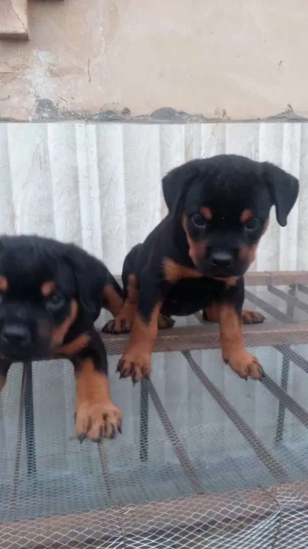 ROTT puppies for sale 0