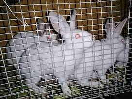 RABBITS FOR SALE NEWZEALD WHITE AND CALIFORNIAN 5 T0 10 MONTHS  OLD