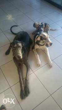 Image of Great dane puppies for sale