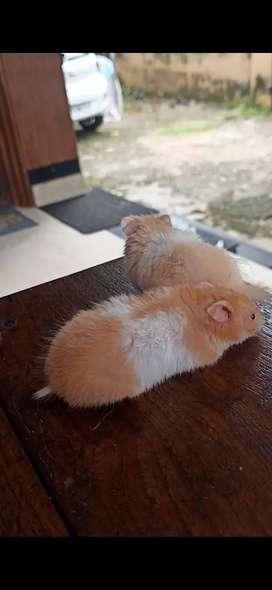 Hamsters available