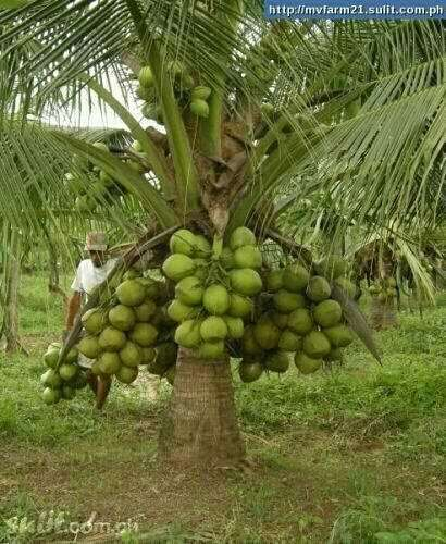 Malaysian dwarf coconut seedlings for sale at very affordable price. 0
