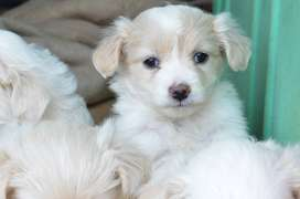 Maltese oodles Puppies