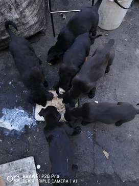 Healthy Pure Breed Labrador puppies Available, Brown and Black, Male/F