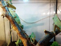Продам хамелеона в Киеве