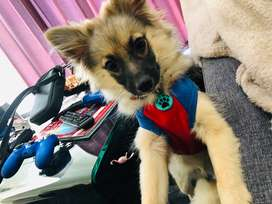 11 months old GSD/TOYPOM MIX