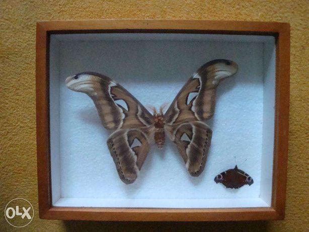 Kolekcja motyli Attacus Atlas 1 szt Urania leilus 1 szt i inne Brzeg - image 5