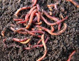 Eartworms for sale