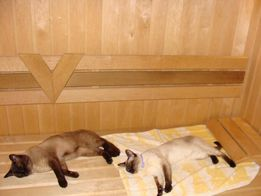Сиамский кот приглашает кошечек своей породы