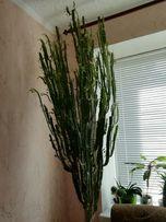 Продаю кактус