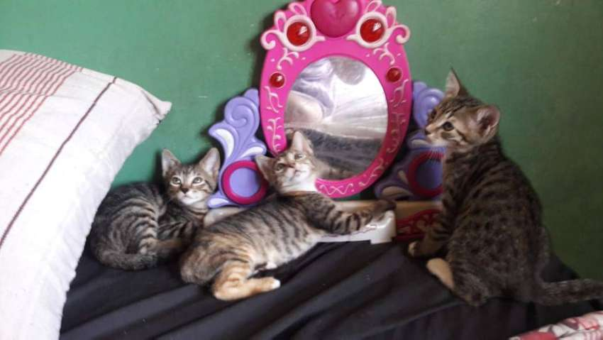 Beautiful rescue kittens looking for their forever home 0