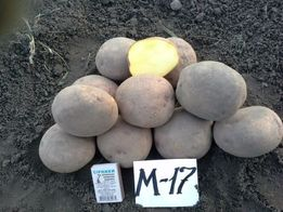 Продам высокоурожайный картофель супер элита М17, цена доступная