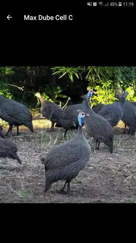 Guinea fowls for sale only 4 left 2 males and 2 fe
